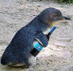 Cheap Wine Reviews » Little Penguin Merlot 2004 - Cheap red wine ...